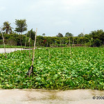 After reading about water hyacinth on Wikipedia, I wonder whether the Vietnamese farm it out of necessity, because they can't get rid of it, or out of choice?