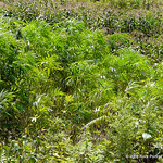Marijuana crop, better known as help over here.