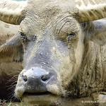 Say cheese. Have you ever noticed that water buffaloes always have such great skin?