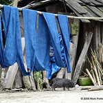 Woven cloth is dyed in Indigo, which is grown locally along with the Hemp