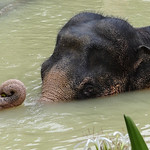 Indian elephant bathing.