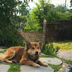 The resident dog at Dalat Nights Cafe looks more like a fox.